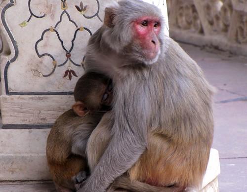 Mama Monkey