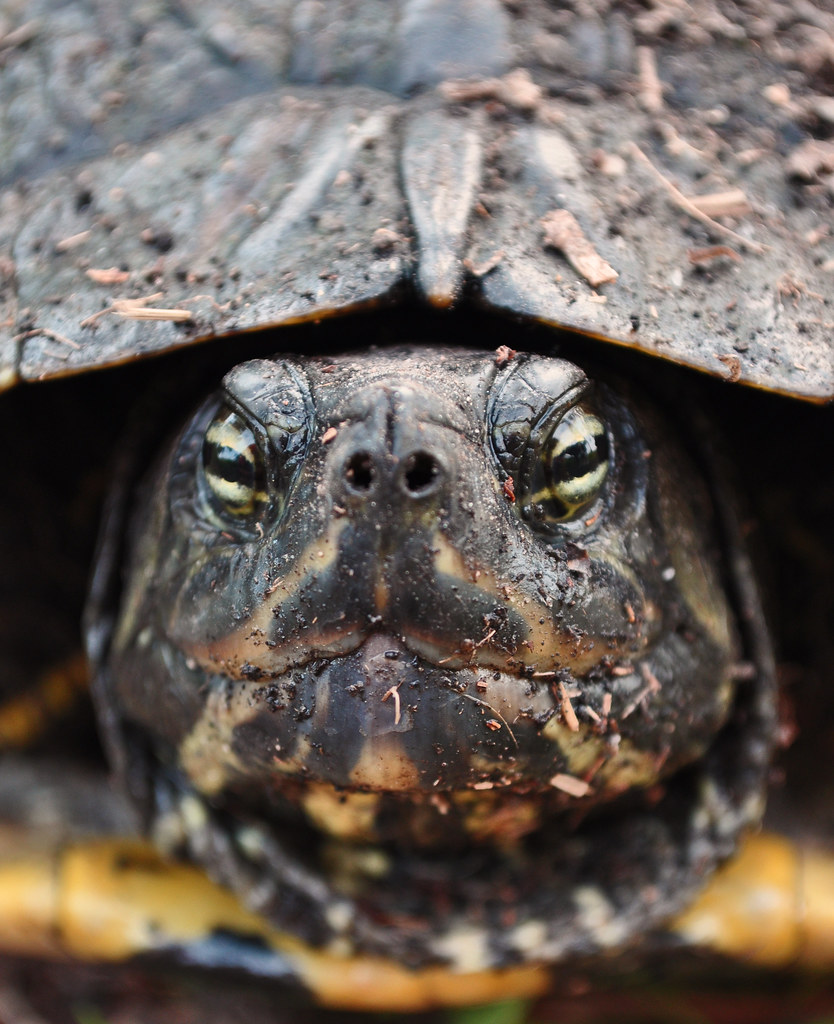 Trachemys scipta - Yellowbelly Slider 2