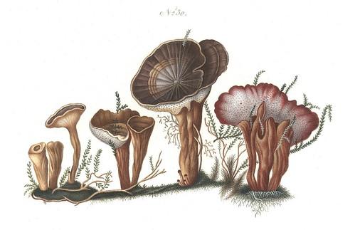Boletus leucoporus (Coltricia perennis)