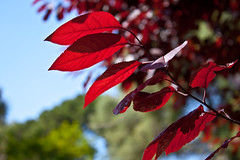 The one with the red (Jarrett and Linette) Tags: red colour tree nature leaves closeup canon leaf alameda gibraltar 500d