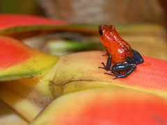 Strawberry Poison-arrow Frog. Classic 'blue jean' pattern. Pozo Azul, Costa Rica. (Sky and Yak) Tags: red america strawberry rainforest costarica wildlife central amphibian frog jungle poison amphibians dart dendrobates centralamerica puravida herpetology dendrobatespumilio poisondart bluejean herptile poisonarrow pumilio dendrobatid oophaga oophagapumilio
