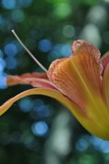 (katgibson) Tags: flower macro up spring lily close tiger wonderfulworldofflowers