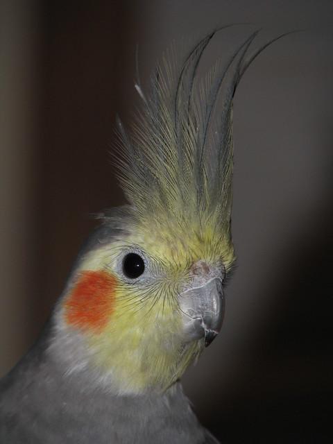 Gil the Cockatiel