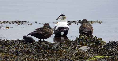 12485 - Eider at Connel