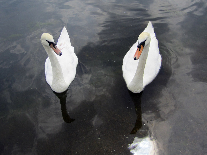 Swans at Hyde Park, London