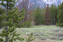 Pine trees off the side of the road, Grand Teton National Park (Trevor.Huxham) Tags: wyoming trees pine grandteton grandtetonnationalpark mountains nationalpark canonef50mmf18ii canoneosrebelxs