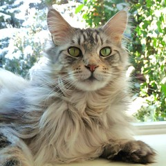 Hello Friends, have a nice week ahead. (Cajaflez) Tags: pet cute cat kat chat longhair mainecoon katze gatto huisdier gatti kater floris tomcat cc200 cc100 kissablekat bestofcats catmoments boc0610