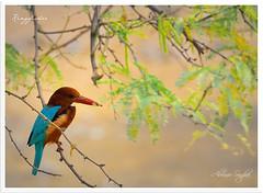 Kingfisher (Abhinav Singhai) Tags: park india tree green bird nikon wildlife delhi awesome birding waterbird 300mm kingfisher 70300mm vr birdphotography d90 smallbird beautifulbird colourfulbird vibrationreduction nikond90 bluekingfisher awesomebird nikon70300m nikond9070300mmvr afsnikon70300mmvr awesomelookingbird nikond90andnikon70300mmvr