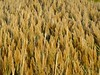 Sea Oats (wxkeith) Tags: new sea golden commercial shore jersey oats township bivalve