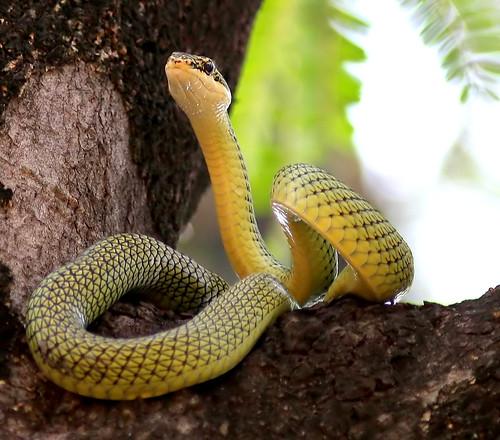 Golden tree Snake (chrysopelea ornata)
