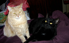 Happy 4TH Birthday Champaz And Blacky!! 9/11/2010.. (Michelle ~ BLACKY ~ CHAMPAZ'S PHOTOS..) Tags: blackcat happybirthday myboys mybabies 4thbirthday kissablekats bestofcats kittyschoice catmoments friendsofzeusandphoebe fawncat littlefattys