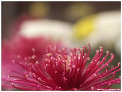 Chrysanthemums-3