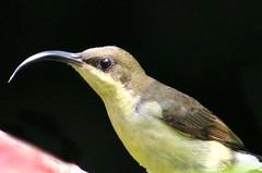 Loten's Sunbird female (binoy_v_k) Tags: lotenssunbird sunbird female canon 700d birdsofindia keralabirds
