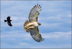 Red-winged Blackbird vs Red-tailed Hawk (Randy Lowden) Tags: redtailedhawk redwingedblackbird chase fight flight niagara ontario randylowden canon