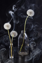 (helenarostunova) Tags: stilllife background black botanical circular cypsela dandelion delicate floral flower fuzz horticulture parachutes plant pollination round seed seedhead shape soft spherical weed wildflower wispy closeup color descriptive inflorescence macro nature spring studio bloom blossom blow detail fluff fly fragile light single small softness stem summer symbol smoke bottle vase bouquet