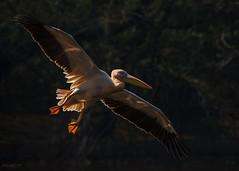 Rosy pelican landing (mathewindelhi) Tags: pelican india delhi bird nature water flying wings flight wild wildlife