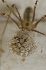 Spiderlings Hatching (Pholcus phalangioides) (richard.heeks) Tags: pholcusphalangioides egg sac emerging birth hatch hatching spider spiderlings baby parent adult moment emerge