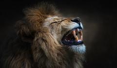 Gut gegähnt, Löwe (ellen-ow) Tags: katzenartige mund piefke raubtiere zooduisburg zoos groskatzen löwe lion säugetier gähnen zahne teeth ellenow nikond4 tier animal cat wild wildcat prächtig
