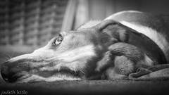 Boo (mejud) Tags: dog basset hound blackandwhite bassethound saddog animal outdoor pet portrait boo mono monochrome close up bigears