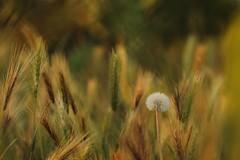 Vincerà! (SimonaPolp) Tags: wheat summer dandelion sun light july hot macro wind painter