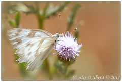Checkered White on Thistle Flower (ctofcsco) Tags: 15000 180mm 5d 5dclassic 5dmark1 5dmarki aperturepriorityae canon colorado coloradosprings didnotfire digital ef180mmf35lmacrousm eos eos5d esplora bokeh explore geo:lat=3893083779 geo:lon=10489145279 geotagged gleneyrie nature northamerica telephoto wildlife explored f35 flashoff iso320 partial photo pic pretty renown unitedstates usa pontia protodice insect butterfly macro close up