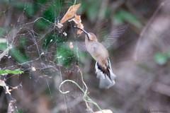 Anopetia gounellei - Broad-tipped Hermit (arthurgrosset) Tags: fbwnewbird fbwadded anopetiagounellei phaethornisgounellei broadtippedhermit