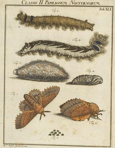 Classis II Papilionum Noctornum (Bomcyx quercifolia) V.1