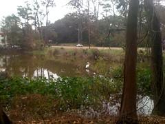 LSU Lakes Pelican