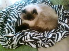 Sebastian in Snuggie (whatisthisdotcom) Tags: cute cat persian cozy kitty sleepy kitteh zebra naptime himalayan snuggie himmie