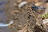 libellule (Myad) Tags: europe arboretum greece crete arbre grece libellule etang flickrunitedaward