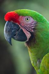 Great Green Macaw (Peter Nijenhuis) Tags: bali indonesia 500d greatgreenmacaw ef70300mmf456isusm tamanburungbalibirdpark araambiguus peternijenhuis