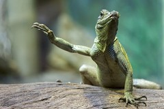 G'day, mate! (Tanya Puntti (SLR Photography Guide)) Tags: reptile lizard tarongazoo