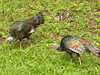 wild turkeys.