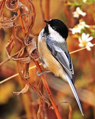 Early bird gets the worm.... (. : : v i S H a l : : .) Tags: morning autumn food cute bird fall nature leaves canon early bokeh wildlife chickadee twig aviary closetonature birdqualityonlyclub