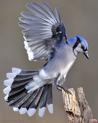 Mr.Blue Jay! (JRIDLEY1) Tags: blue bird wings nikon searchthebest michigan ngc bluejay brightonmichigan theunforgettablepictures natureselegantshots jridley1 jimridley dailynaturetnc09 httpjimridleyzenfoliocom photocontesttnc10 lifetnc10 jimridleyphotography photocontesttnc11 photocontesttnc12