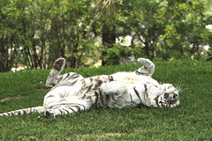 White Bengal Tiger (Neptunecocktail) Tags: animal danger zoo play upsidedown miami beast wildanimal roll rolling miamiflorida miamimetrozoo flickrbigcats floridaflbengaltigertiger