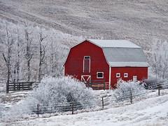 Can't beat a red barn (annkelliott) Tags: winter red white canada cold beautiful barn rural fence landscape lumix scenery seasons hoarfrost explore alberta backroad redbarn winterscene ruralscene beautyinnature southernalberta interestingness245 ©allrightsreserved annkelliott southofhighway22x fz28 panasonicdmcfz28 ©anneelliott2009 explore2010january27 p1330328fz28 leapfrogshats