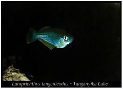 lamprichthys tanganicodus_800_01 (Bruno Cortada) Tags: malawi marino mbunas cclidos sudafricanos tanganyica