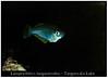 lamprichthys tanganicodus_800_01 (Bruno Cortada) Tags: malawi marino mbunas cíclidos sudafricanos tanganyica