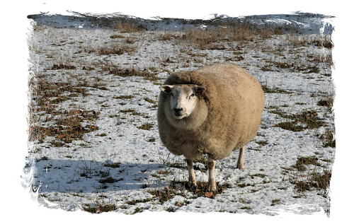 Lonely Flemish sheep
