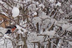 Un ocell d'Aviemore (Cyberian8) Tags: snow animal fauna scotland escocia animaux diere aviemore  tier  djur  hayvan desanimaux  hewan haiwan reinoanimal  ivotinja