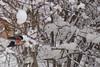 Un ocell d'Aviemore (Cyberian8) Tags: snow animal fauna scotland escocia animaux diere aviemore 動物 tier 동물 djur 动物 hayvan desanimaux животных hewan haiwan reinoanimal الحيوان životinja สัตว์ पशु