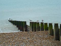 P1070928f (bishib70) Tags: seagulls birds eastbourne groyne