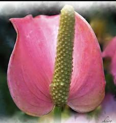 Flamingo Flower (sheiro) Tags: pink flower macro pinkflower sensational anthurium flamingoflower theperfectpinkdiamond sheiro