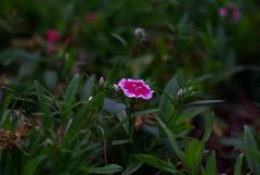 Wee Flower (dbkfrog) Tags: pentax takumar m42 smc 135mmf35 k10d pentaxk10d