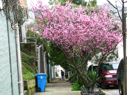 The purple-leaf flowering plum (Prunus cerasifera); SF's most common street tree.