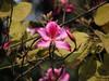 Bauhinia blakeana flower (H G M) Tags: flower kanchan bauhiniablakeana kachnar hgmphotostream calledhongkongorchidtree