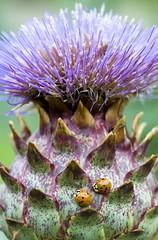 Companionship (BruceK) Tags: ladybugs nikkor105mmf28gvrmicro rosettamclaingardens