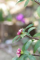 開き出した沈丁花