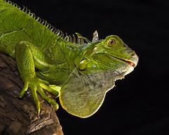 Lost.......... (Alfredo11) Tags: lighting light naturaleza macro luz nature animal lost flash lizard iguana iluminacion perdido naturesfinest nikonsb600 nikonsb800 desorientado nikoncreativelightingsystem strobist nikond300